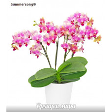 Phal. Summersong