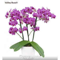 Phal. Valley Buzz