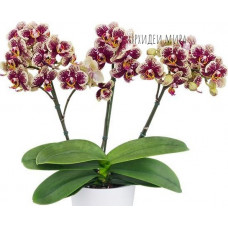 Phal. Valley Dew уценка