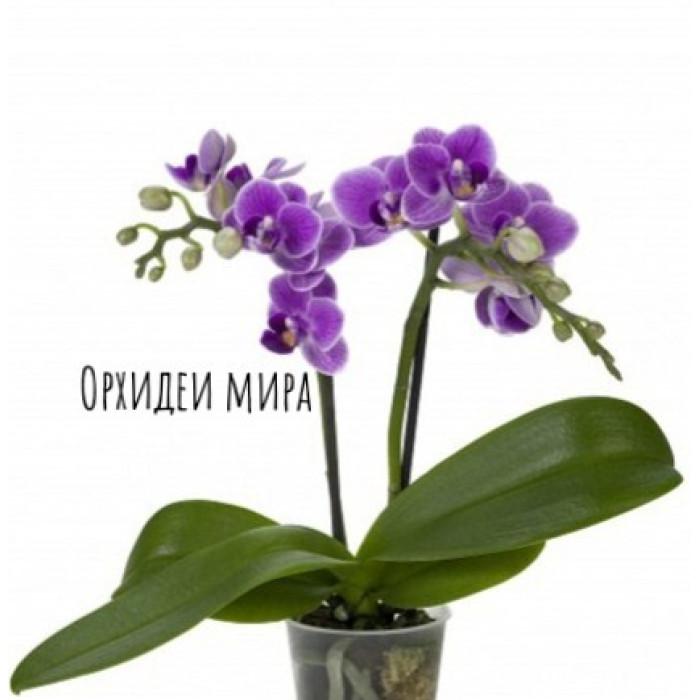 Фаленопсис Виолет Квин (Violet Queen 1,7)