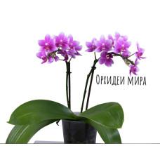 Phal. Violetta