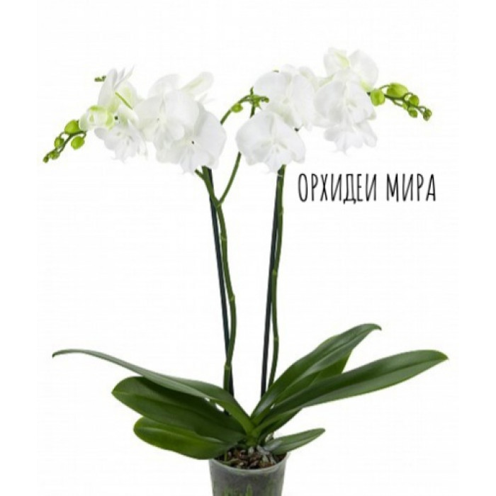 Phal. White big lip уценка