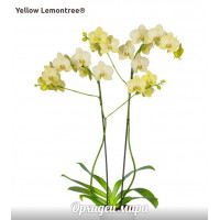 Phal. Yellow Lemontree уценка