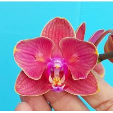 Phal. Hybrid № 439 бабочка