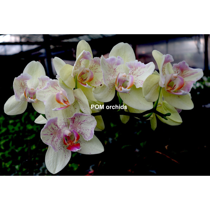 Phal. I-Hsin Spring Sakura бабочка