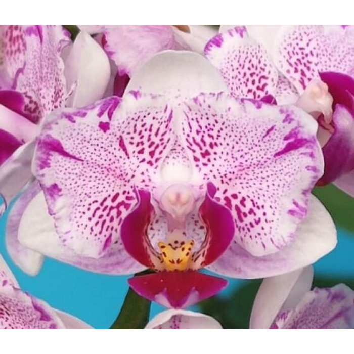 Фаленопсис Памперед Сакура (Pampered Sakura бабочка)