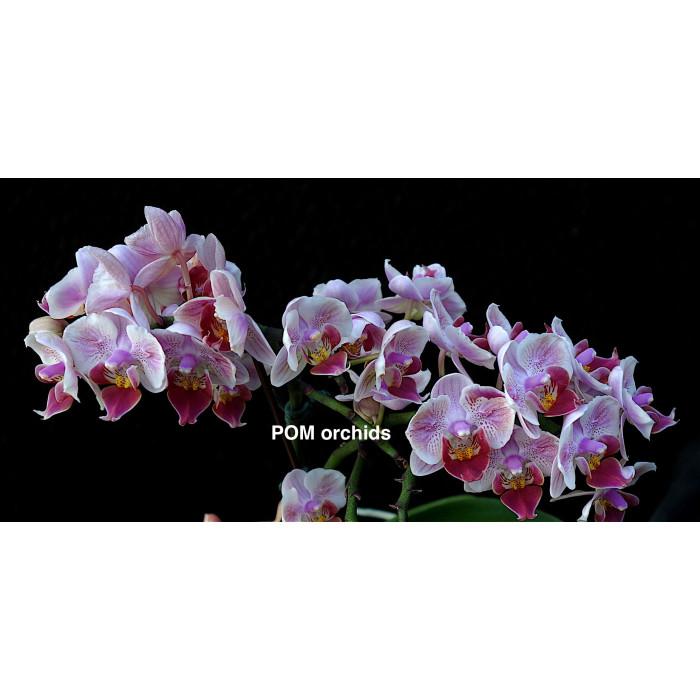 Phal. Pinlong Venus бабочка