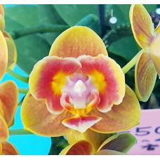 Phal. Shing Fang Savory Orange бабочка