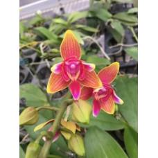 Phal. Tying Shin Phoenix бабочка