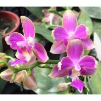 Phal. Yaphon Pink Bee бабочка 1,7