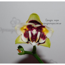 Phal. Yaphon Star Diamond 6601 бабочка