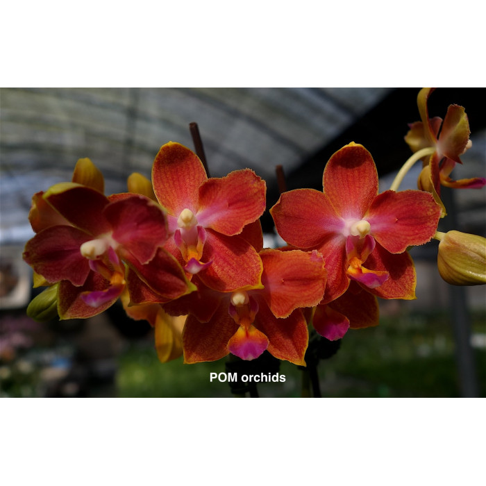 Phal. Yushan Manbo бабочка