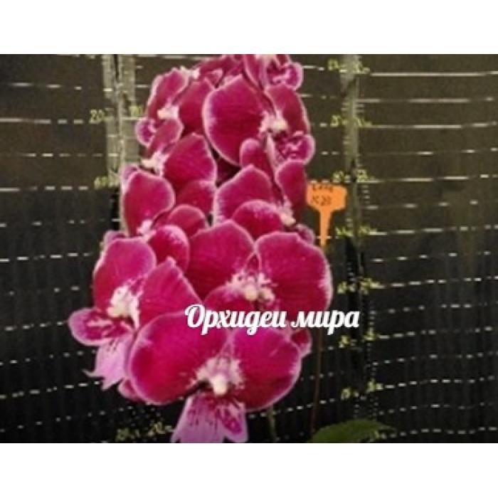 Фаленопсис Гибрид №261(Hybrid №261 big lip)