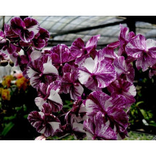 Phal. I-Hsin White Wedding chocolate type big lip