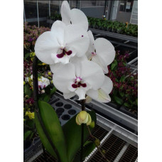 Phal. Reyong Prince big lip 2,5