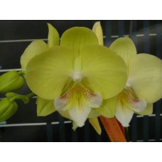 Phal. Younghome Green Dance big lip