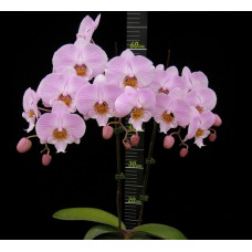 Phal. Younghome Princess 0178 big lip