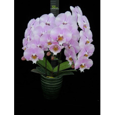 Phal. Younghome Princess big lip 1,7