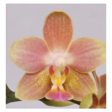 Phal. Lemon Spice