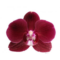 Phal. Reduction
