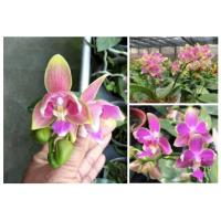 Phal. Yaphon Pink Bee peloric