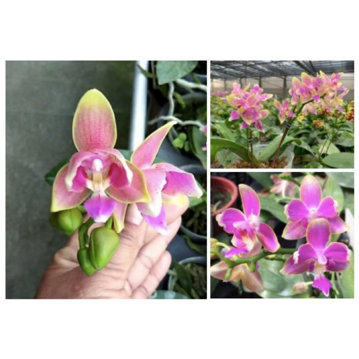 Фаленопсис Яфон Пинк Бии (Yaphon Pink Bee peloric)