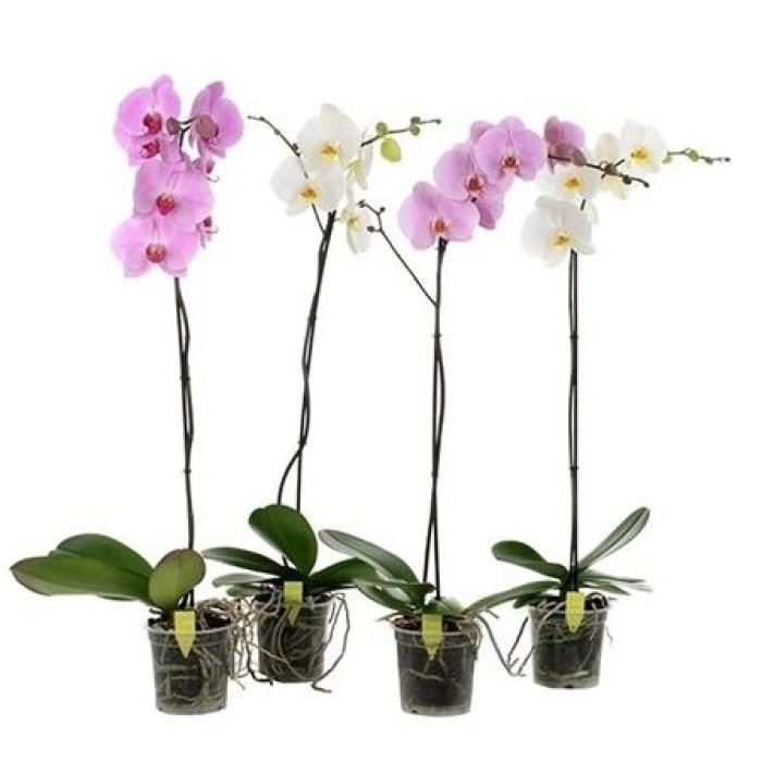 Фаленопсис (Grandiflora mix)
