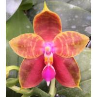 Phal. Amboinensis x Bellina Yungho