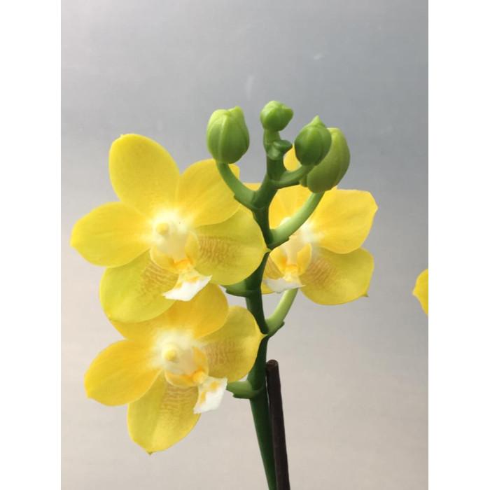 Фаленопсис (Yaphon Perfume Yellow)