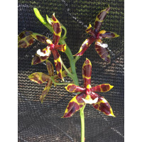 Phal. Mannii Black x self