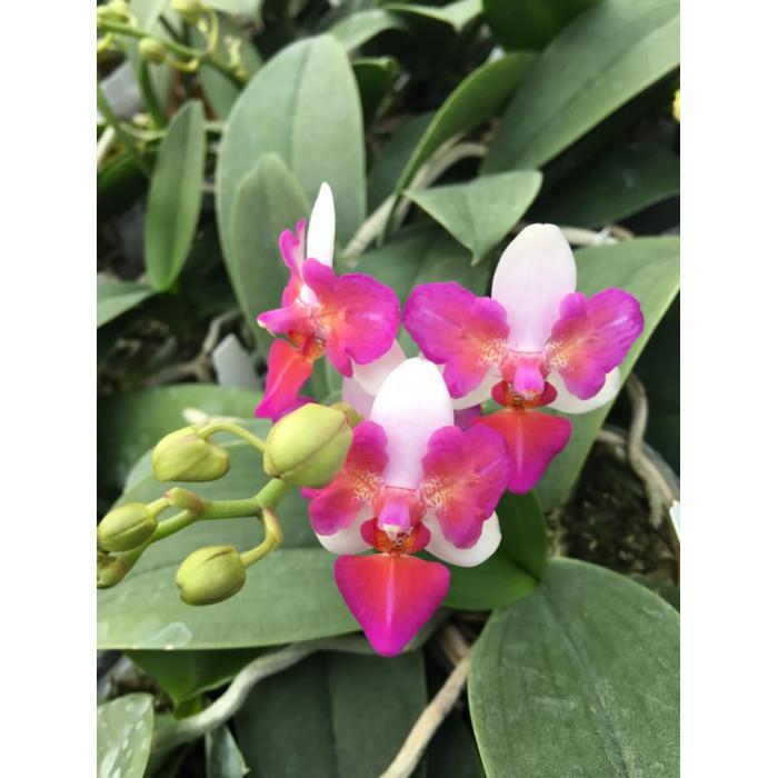 Phal. Lius Berry бабочка 1,7