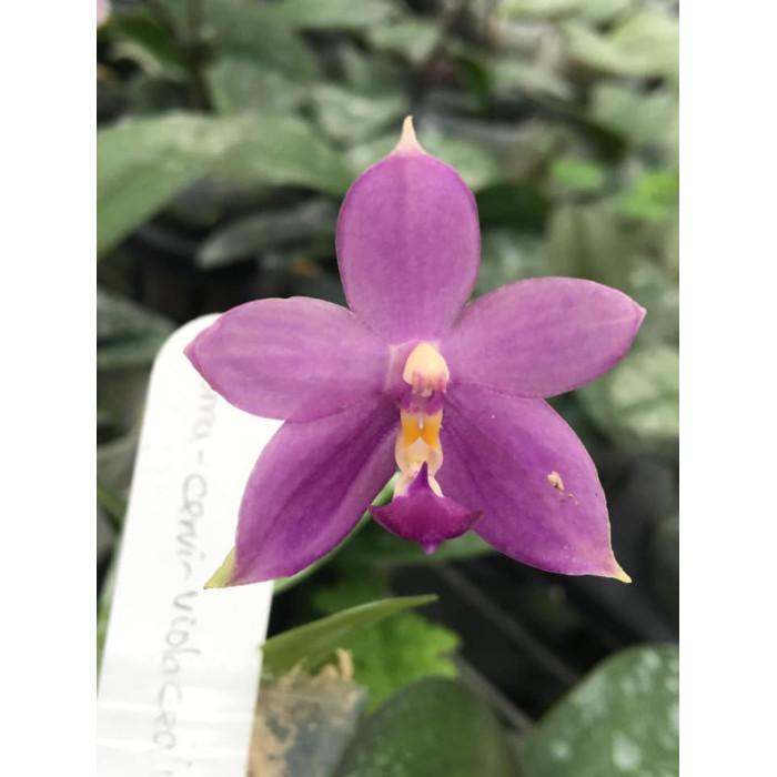 Phal. (Violacea indigo × Cornu-cervi) x Violacea indigo