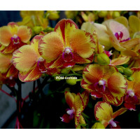 Dtps. Surf Song Ox Gold Orange 1,7