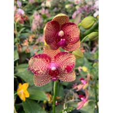 Phal.  Lioulin Wild Cat x (Yaphon Rose x Yaphon Goldlight)