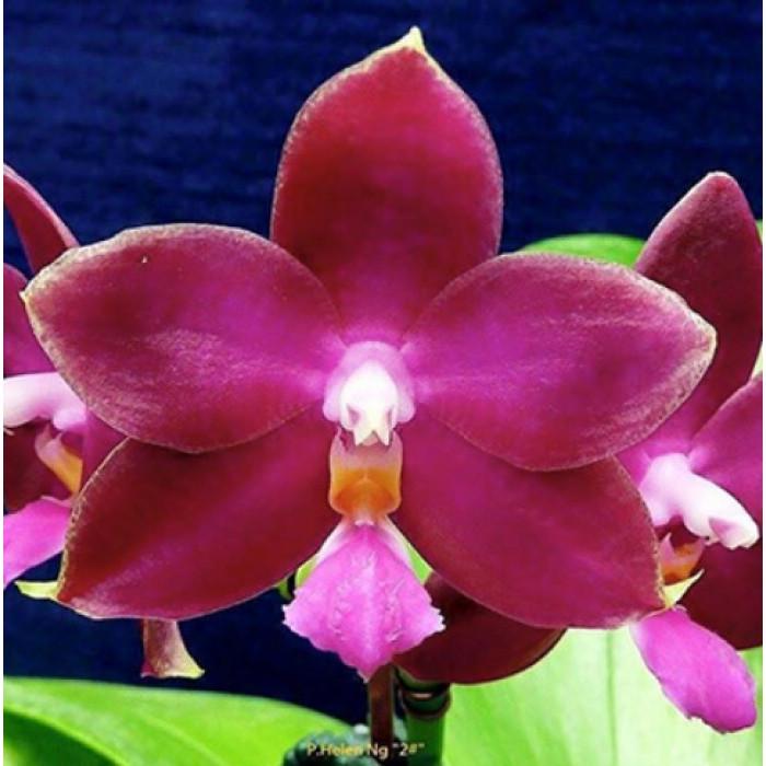 Phal. (Coral Isles x Violacea) Yaphon