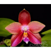 Phal. (Lyndon Ever Emerald x Lds Bear Queen) x (Lds Bear Queen x Cornings Violet..