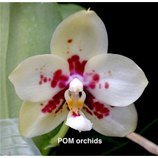 Phal. (Chienlung Black Parrot Green x Yaphon Lover) #4