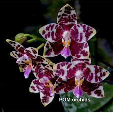 Phal. (Hsinying Fanjo x Gigantea) x Brother Ambo Passion