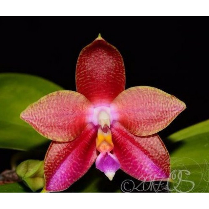 Phal. (Lyndon Ever Emerald x Lds Bear Queen) x (Lds Bear Queen x Cornings Violet)