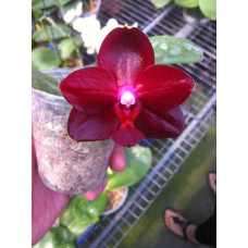 Phal. Allura Ruby Diamond