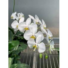 Phal. Amabilis Saba