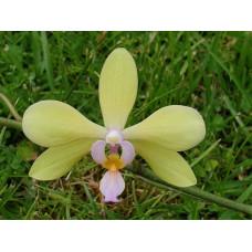 Phal. Amabilis x Stobartiana