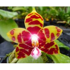 Phal. Amboinensis Yellow x Yaphon Image