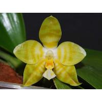 Phal. Amboinensis var. flava x Gigantea