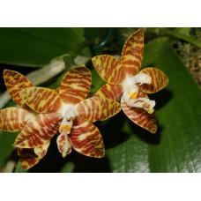 Phal. Amboinensis x sib