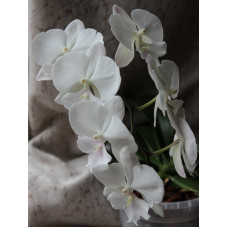 Phal. Big Lip white