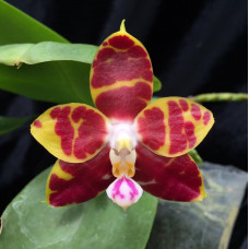 Phal. Brother Ambo Passion