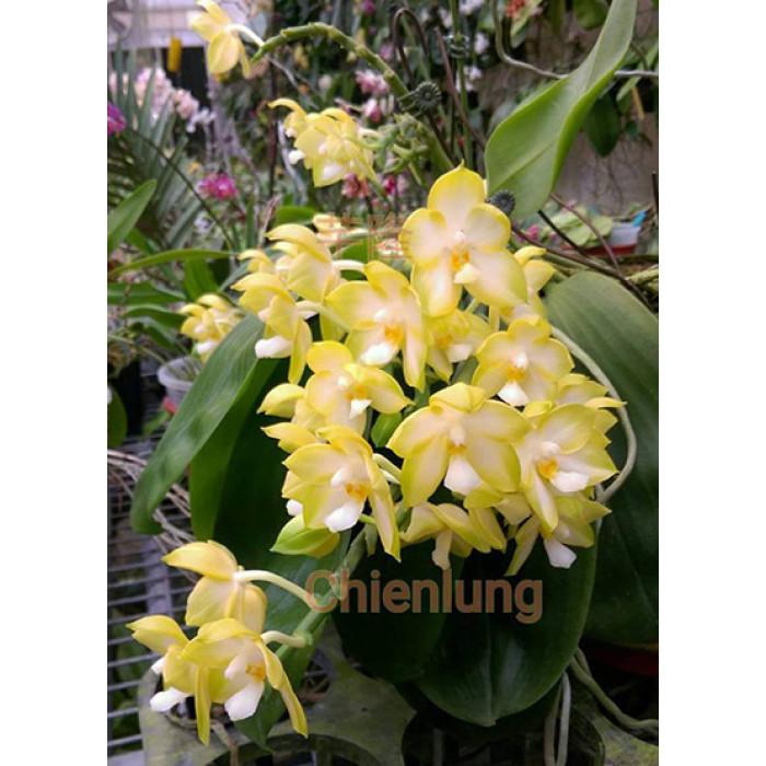 Phal. Chang Maw Jade Nan