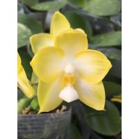 Phal. Chang Maw Jade Yellow