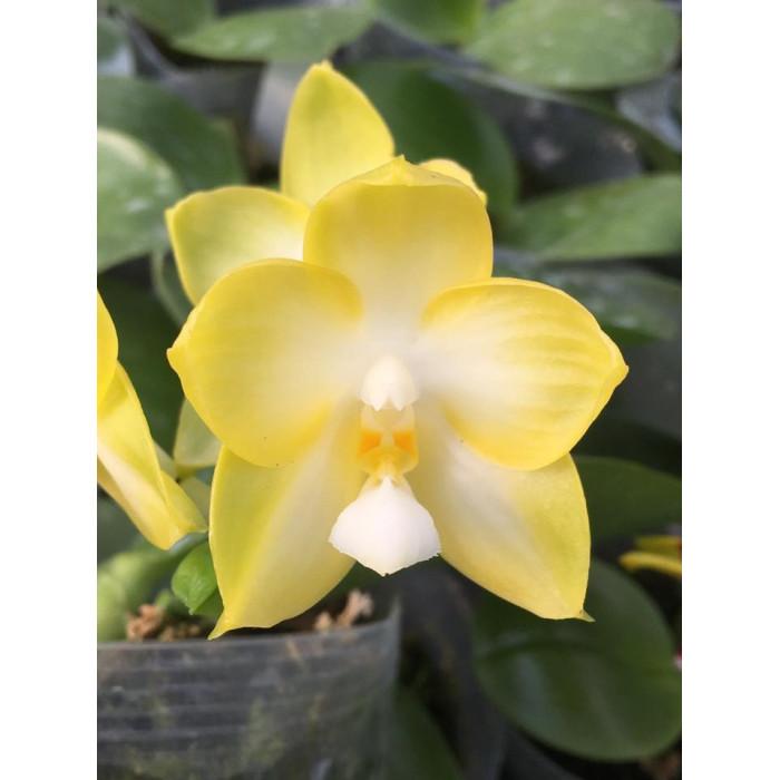 Фаленопсис (Chang Maw Jade Yellow)